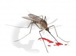 Dengue fever is a viral disease spread only by certain mosquitoes.